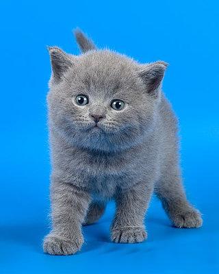 фото голубые коты
