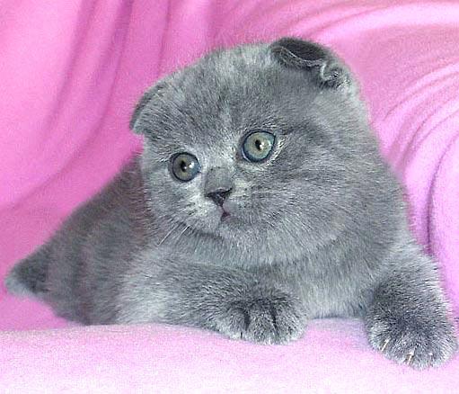 Вислоухие кошки расцветки фото